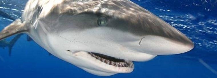 Oahu Shark Diving