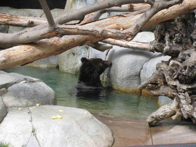 Bear Having a Swim at San Diego Zoo - San Diego