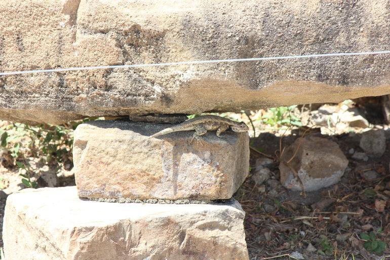 Lizard - Oaxaca