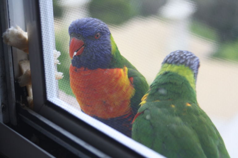 Morning visitors - Sydney
