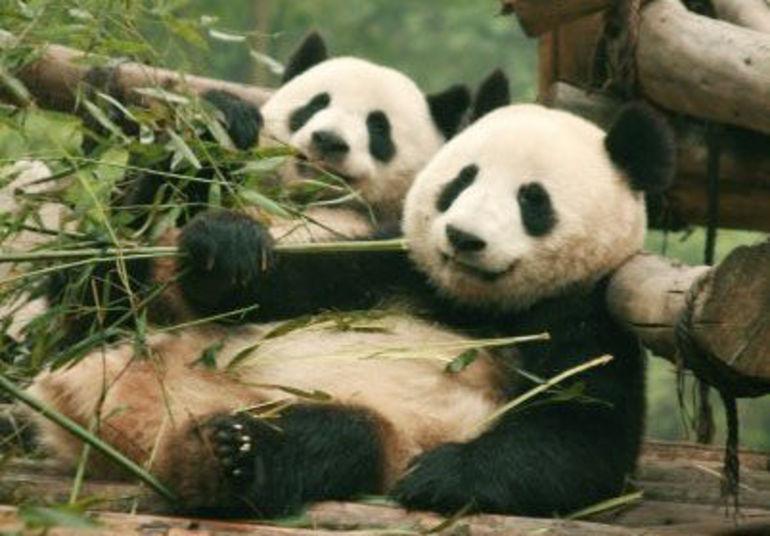 Panda brothers -