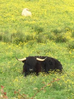 A hairy coo as Gillain told us. A highlight of the trip! , Stephanie H - July 2016
