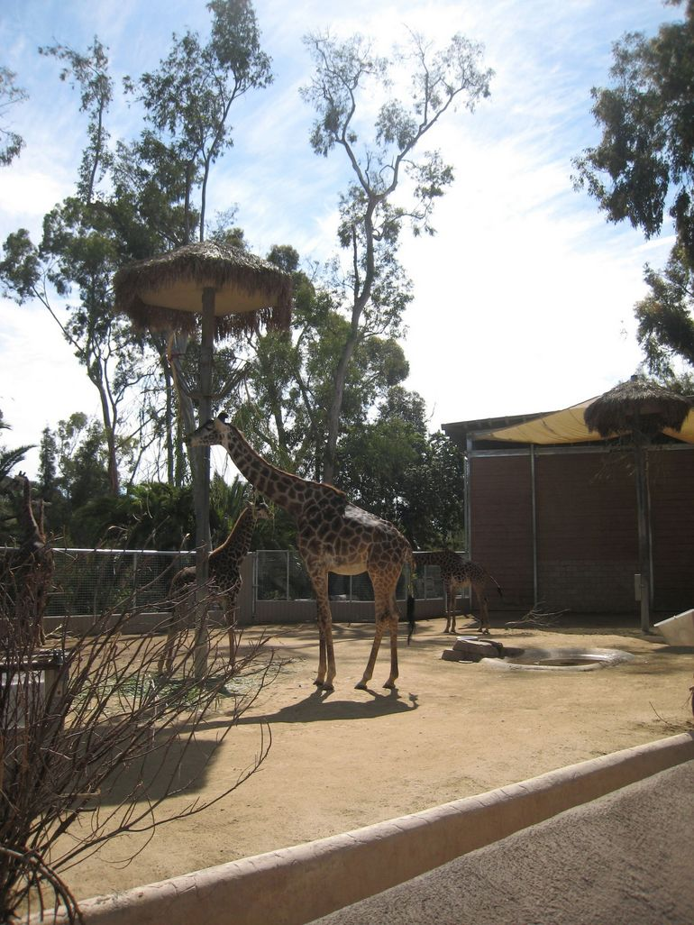 Giraffe at San Diego Zoo - San Diego