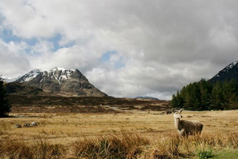 some wild deer in Glencoe - Glasgow