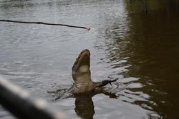 Bayou Gator , hunns - September 2017