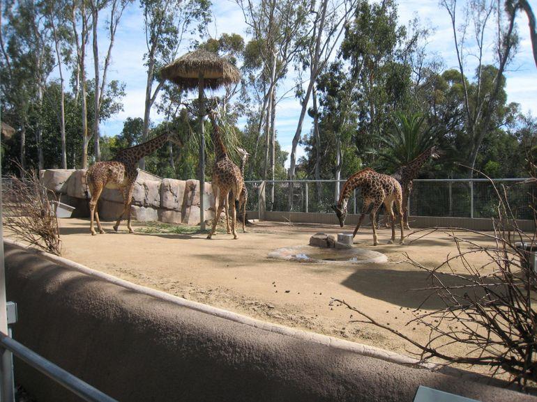 Giraffes at San Diego Zoo - San Diego