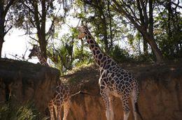 Giraffes - December 2009