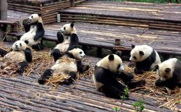 Group of Pandas (1 - 2 years old) , Katharina R - October 2014