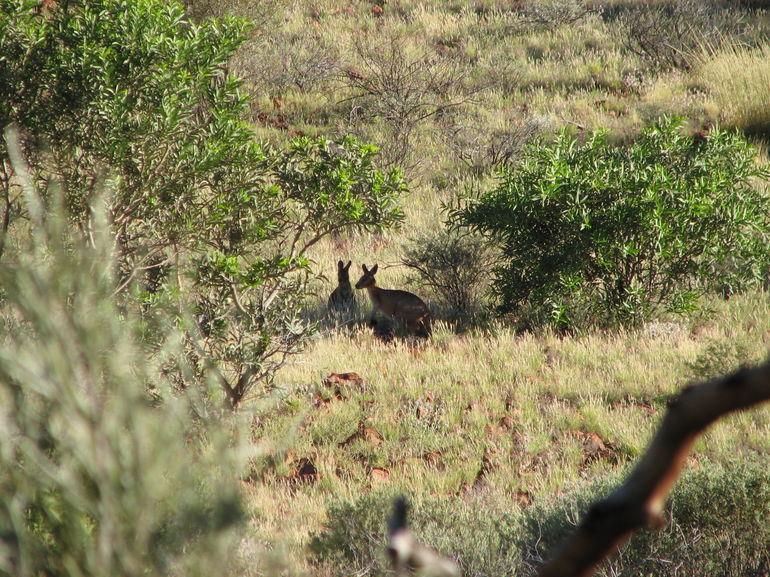 Kangaroos! - Ayers Rock