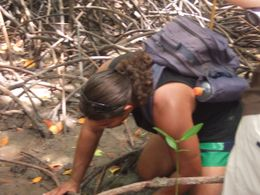 Looking for mussels and crabs in the mangroves - January 2010