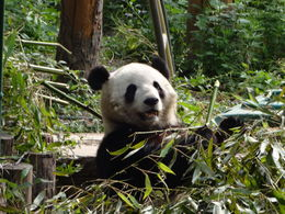 Our first look at a Beautiful Panda , David M - May 2014