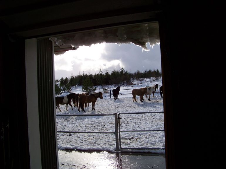 First view of the horses - Reykjavik