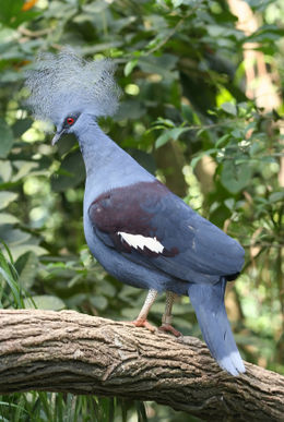 A beautiful crown pigeon perched on a tree in the Singapore Jurong Bird Park - May 2012