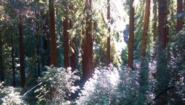 Captivated by ancient redwoods , Suzanne F - September 2015