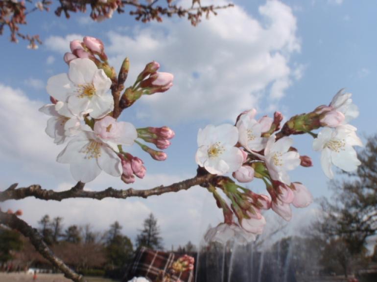 cherry blossom. -