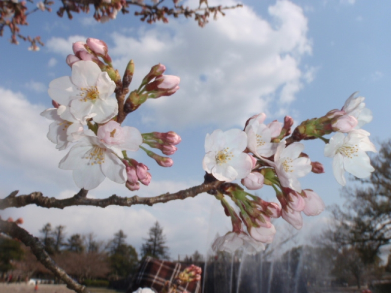 cherry blossom. - Osaka