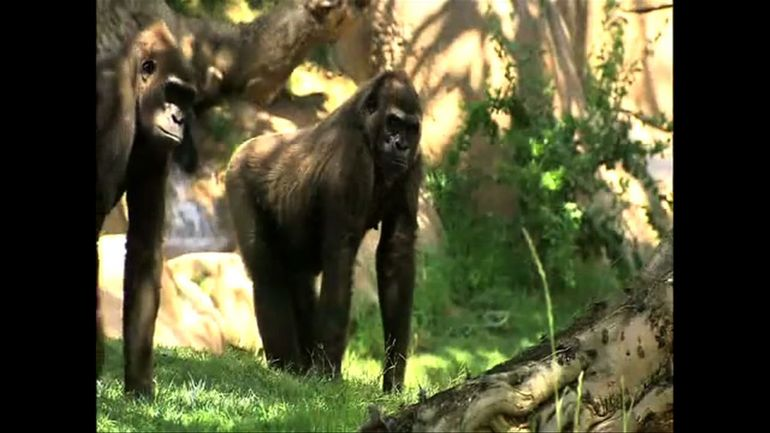 Gorillas, Safari Park - San Diego