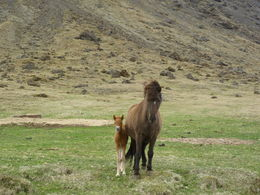 Icelandic horses are so cute!, Irene - June 2015