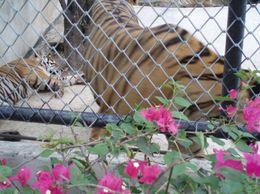 Tigers, ARCHELAOS S - May 2010