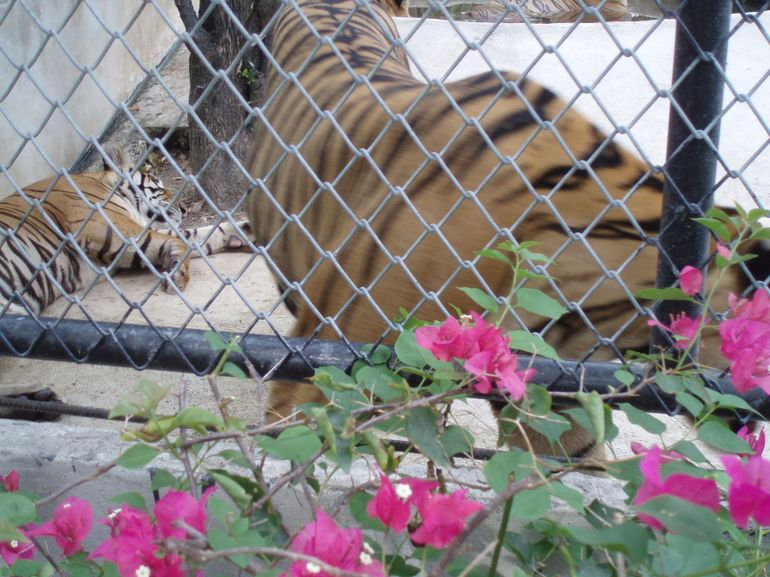 Pattaya TIger Zoo -