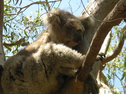 watching koalas in the wild , ARTHUR H - February 2014