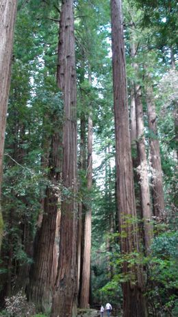 Giant Redwoods., Chris W - May 2008