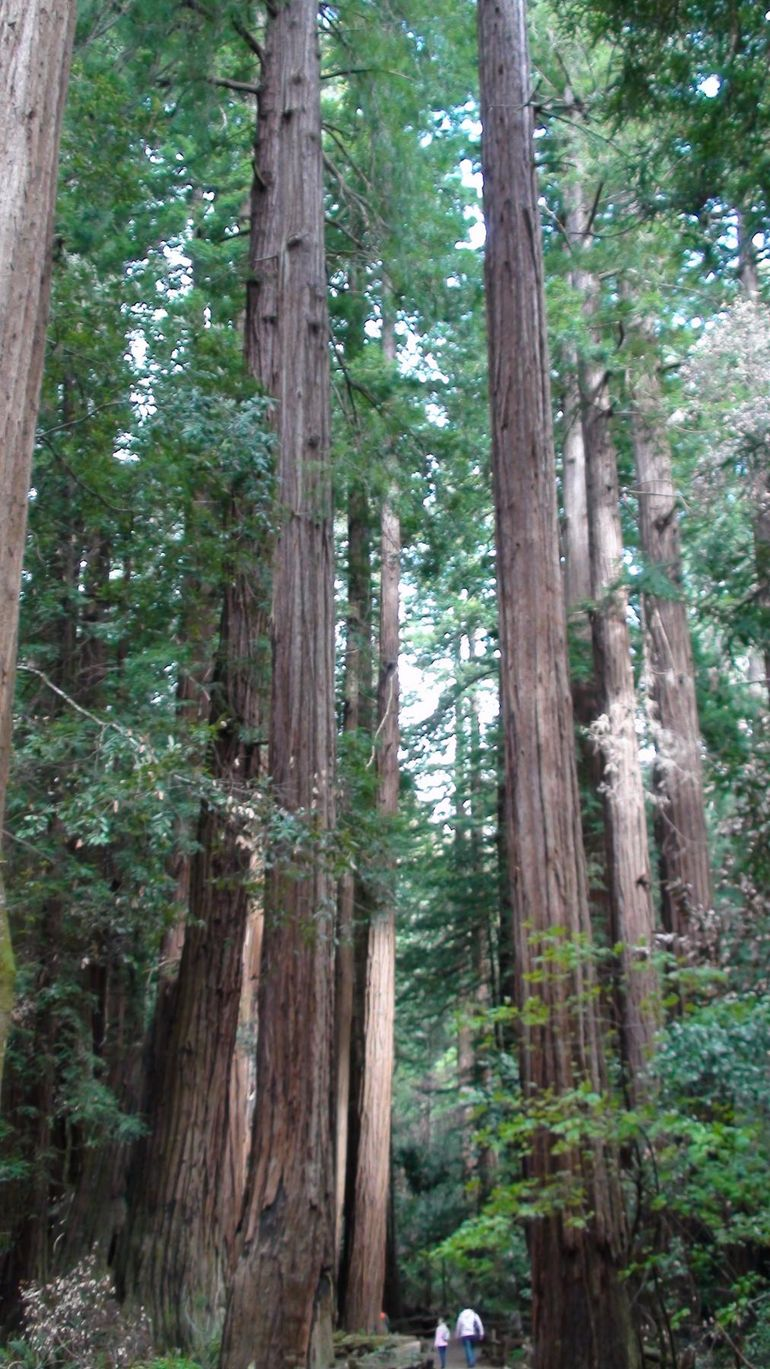 Giant Redwoods - San Francisco