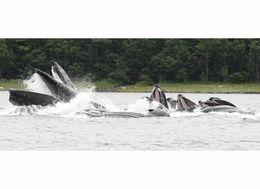 Humpback Whales , Max N - July 2014