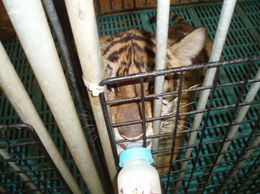 Baby tigers feeding ..., ARCHELAOS S - May 2010