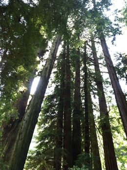 One doesn't visit Muir Woods, instead one experiences Muir Woods. , Dana E - July 2014