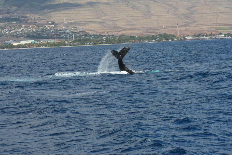 Whale of a Tail! - Maui