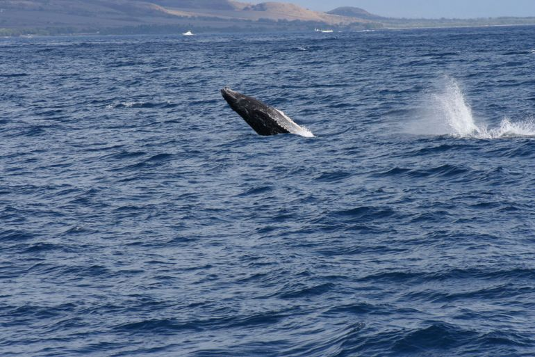 Breaching young whale - Maui