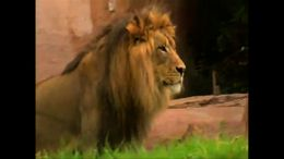 The San Diego Zoo Safari Park houses a family of lions in its open-range habitat. - July 2011