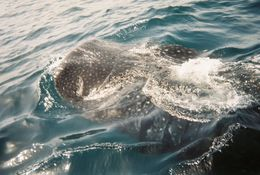 Whale Shark, Lisa C - July 2010