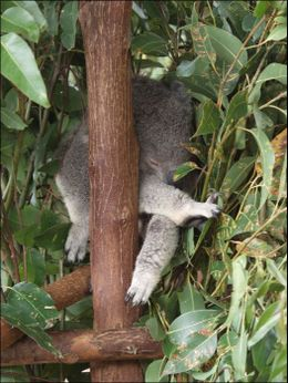 Koala, completely passed out!, Jeff - March 2008