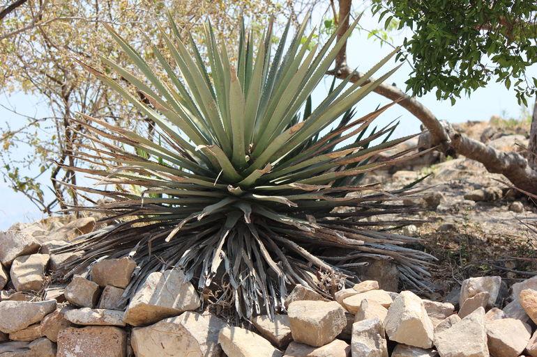 Cactus - Oaxaca