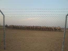 Camel Farm , Sushim D - December 2012