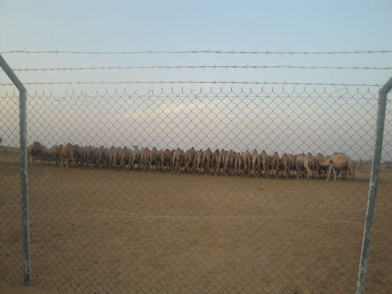 Camel Farm - Dubai