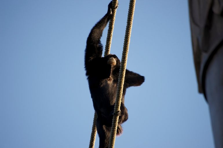 Climbing ape! - Orlando