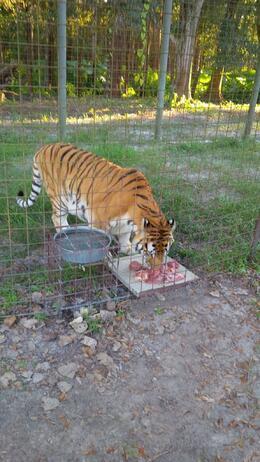 Tiger feeding. , Zalika F - November 2014