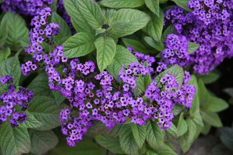 Heliotropium - Cherry Pie Plant - Vancouver