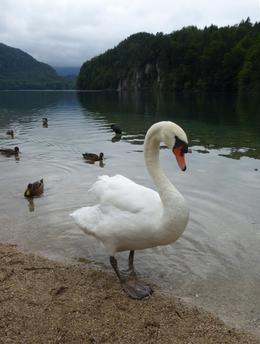 Swan posing beside the Alpsee, Hohenschwangau , Carrie - August 2017