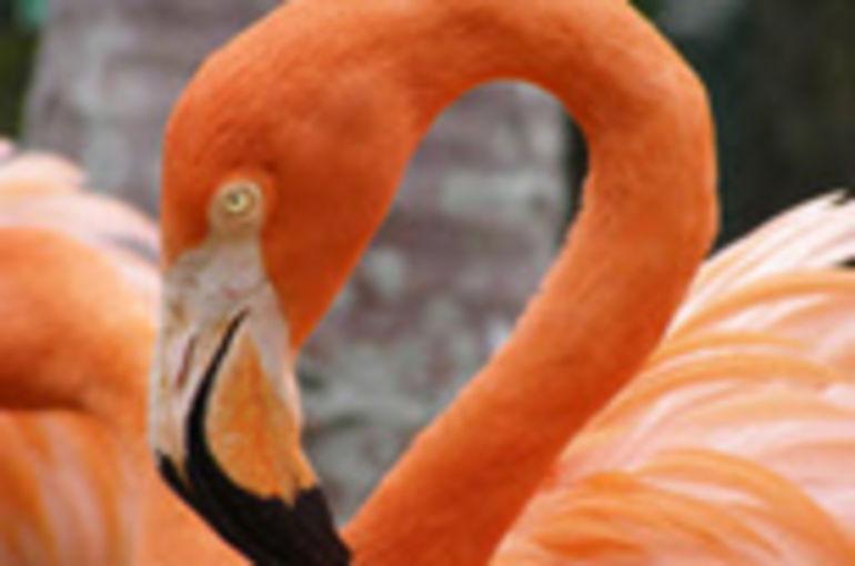 Ardastra Gardens Flamingo - Nassau