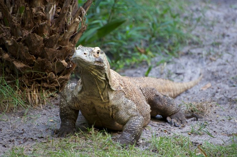 Big lizard - Orlando