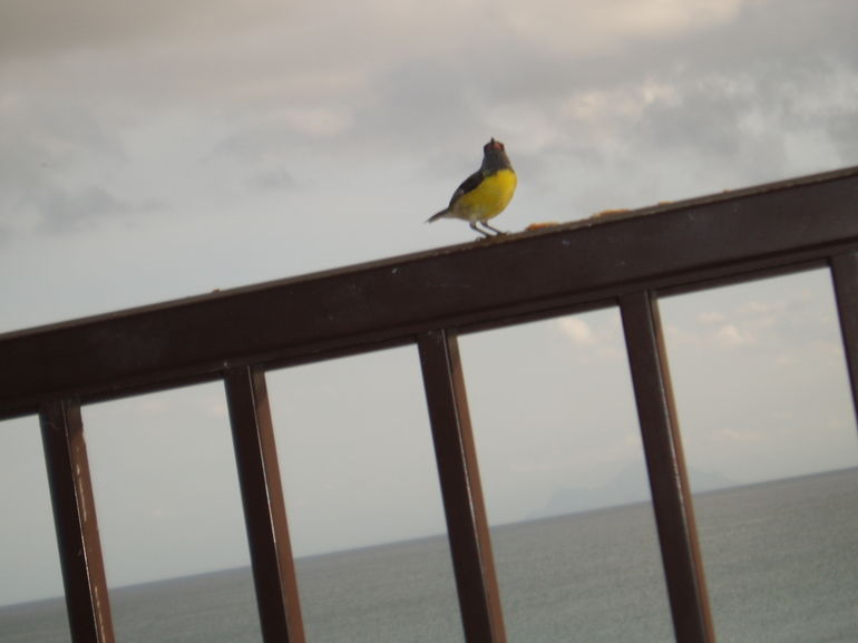 Finch sharing breakfast - Philipsburg