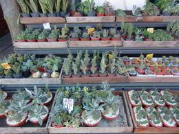 Cactus stall at the market , Judith B - May 2017