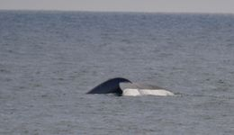 Blue whale tail 1 , Greg H - May 2013