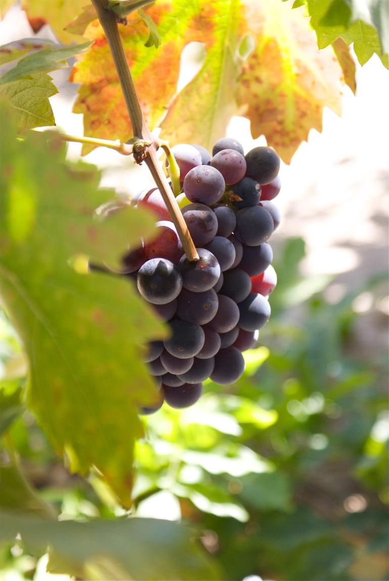 Grapes - Napa & Sonoma