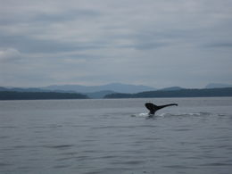 One of two humpbacks we saw on the tour , Jennifer W - May 2015