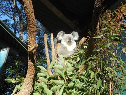 Koala Bear! , JoAnn S - June 2015